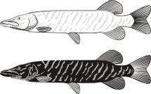 Drawing - Art Product,Water,Carnivore,Pike,Illustrations And Vector Art,Freshwater,River,Lake,Freshwater Fishing,Catching,Fishing,Fish,Animal,Vector