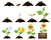 Single Flower,Root,Flower,Seed,Sunflower,Growth,Dirt,Cultivated,White Background,Sunflower Seed,Isolated,Rain,Image Sequence,Development,Seedling,Nature,Collection,Food,Vector,Continuity,Icon Set,Water,Small Group of Objects,Isolated On White,Springtime,Computer Icon,Beauty In Nature,Medium Group of Objects,Sun,Set,Flower Head,Variation