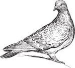 Feather,Pigeon,Animal Leg,Dove - Bird,Drawing - Art Product,Isolated On White,Tail,Bird,Wildlife,Ilustration,Sketch,Wing,Watching,Claw,Beak
