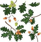Oak Tree,Acorn,Leaf,Forest,Vector,Nut - Food,Botany,Autumn,Single Object,Collection,Organic,Growth,Group of Objects,Woodland,Transparent,Eps10,Season,Tree,Ripe,Lush Foliage,Seed,Brown,Environment,Green Color,Isolated,White,Nature,Twig,Design Element,Summer,Plant,Branch,Set