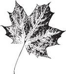 Leaf,Maple Tree,Track,Print,Maple,Painted Image,Autumn,Black Color,Falling,Paint,Textured,Textured Effect,Rubber Stamp,Vector,Season,Silhouette,Leaf Vein,Botany,Nature,Decoration,Tree,Symbol,Simplicity,Pattern,Sparse,Ilustration,Shape,Dirty,Posing,Design Element,Part Of,Computer Graphic,Digitally Generated Image,Growth,Grunge,Plant