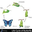 Cocoon,Catwalk - Stage,Change,Moth,Life Cycle,Biology,Invertebrate,Arthropod,Cycle,Ilustration,Vector,editable,Entomologist,vector art,Adult,Animal,Lepidoptera,Leaf,lifespan,life-cycle,Vector Design,Pupation,Design Element,Insect,Wildlife,Nature,Larva,Worm,Multi Colored