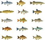Fish,Living Organism,Pike,Fishing Industry,Fishing,Trout,Perch,Cod,Sea Bream,Freshwater,Herring,Tuna,Computer Icon,Mullet Fish,Tench,Saltwater Fish,Catfish,River,Nature,Aquatic,Multi Colored,Wildlife,Common Roach,Underwater,Isolated On White,Vector,Set,White,Water,Salmon,Variation,Image,Carp,Ilustration,Animal,Bonito,Collection,Swimming Animal,Sea,Animal Fin,Isolated,Drawing - Art Product,Seafood