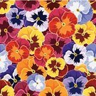 Pansy,Flower,Pattern,Floral Pattern,Flower Head,Continuity,Wallpaper Pattern,Blossom,Wild Pansy,Vector,Violet,Purple,Design Element,Summer,Plant,Colors,Orange Color,Heap,Multi Colored,Yellow,Backgrounds,Repetition,Petal,Ornate,Maroon,Seamless,Decoration,Vibrant Color,Backdrop,Beautiful,Red,Bright,Textured,Ilustration,Blue,Pink Color,Nature,Design,motley,Variation