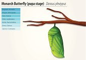 Cycle,Butterfly - Insect,Cocoon,Biology,Development,Mature Adult,Growth,Baby,Wildlife,metamorphisis,chrysilis,Animal,Lifestyles,Millipede,Science,Arthropod,instar,plexippus,D Plexippus,Danaini,Insect,Animals In The Wild,Micro Organism,Young Animal,Vector,Lepidoptera,Catwalk - Stage