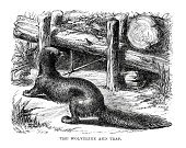 Wolverine,Old,Trap,Animal Themes,Antique,Ilustration,Weasel,Engraved Image,Animals In The Wild,Agricultural Equipment,Living Organism,Mammal,Image Created 19th Century,19th Century Style,Styles,Pawed Mammal,Animal,The Natural World,Equipment,Black And White,Wildlife,History,The Past,Old-fashioned,Weasel Family