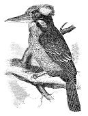 Kookaburra,19th Century Style,Retro Revival,Painted Image,Antique,Obsolete,History,Sketch,Old,Novaeguineae,Isolated On White,Dacelo,Book,Black And White,Bird,Engraved Image,Pencil Drawing,Papua New Guinea,Cultures,Animal,Drawing - Art Product,Isolated,laughing kookaburra,Old-fashioned,Classical Style,Engraving,Print,Art,Kingfisher,Victorian Style,Laughing,Ilustration