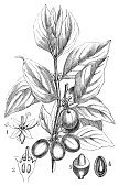 Dogwood,Plant,Engraved Image,Victorian Style,maß,Ilustration,Engraving,Nature,Botany,Leaf,Europe,Book,Old,Isolated On White,Flower,Art,Drawing - Art Product,cornel,Isolated,Pencil Drawing,Print,Cherry,botanics,Cornelian Cherry,History,Painted Image,Branch,Cultures,Old-fashioned,Black And White,Tree,Seed,Cornus Mas,Fruit,Classical Style,European Culture,Sketch,Antique,Obsolete,19th Century Style,Herb,Retro Revival,Vegetable,Single Flower,Cornelian