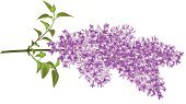 Lilac,Purple,Flower,Single Flower,Vector,Twig,Individual Event,Bush,Ilustration,Single Object,Loving,Branch,Stem,Floral Pattern,Ornate,Growth,Springtime,Season,Paint,Image,Curve,Leaf,Green Color,Inspiration,Plant,Grid,Paintings,Elegance,Botany,Nature,Complexity,Plants,Flowers,Summer,Nature,Design,Decoration,Weather,Romance,Lush Foliage,Beauty In Nature,Creativity,Outdoors,Painted Image