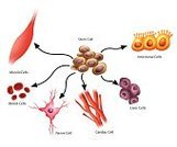 Nerve Cell,Red Blood Cell,Intestinal,Animal,Intercalated Disc,hepatic,Micro Organism,Biological Cells,ectoderm,Computer Graphic,Mitosis,multicellular,Liposuction,Adult,Vector,The Human Body,Embryonic Stem Cell,Multipotent,Inventor,totipotent,Power,Contrasts