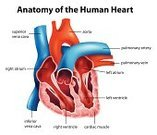 Aorta,Anatomy,Heart Ventricle,Coronary Artery,Order,Science,Champagne,Single Object,Vector,Blood Flow,Biology,Chamber Orchestra,Slice,People