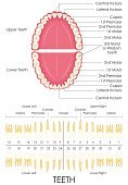 Human Teeth,Chart,Dentist,Anatomy,Diagram,Root,orthodontic,Ilustration,People,Education,Order,Canal,Biology,Vector,Science,Healthcare And Medicine,premolar,cuspid,Crown,dentine,Canine,Cross Section,Hygiene,Scale