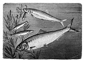 Painted Image,19th Century Style,Classical Style,Sketch,Isolated,River,Nature,Victorian Style,History,Print,Palm Off,harengus,Clupea Sprattus,Black And White,Ilustration,Drawing - Art Product,Pencil Drawing,Herring,Science,Retro Revival,Animal Themes,Animal,Art,Isolated On White,Water,Cultures,Fish,Old-fashioned,Engraving,Kipper,Atlantic Ocean,Engraved Image,Old,Antique,Obsolete,Sea