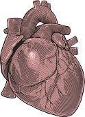 Human Heart,Anatomy,Vector,Old-fashioned,Ilustration,Engraved Image,Human Artery,Style,Symbol,Shape,Education,Isolated,Computer Graphic,Healthy Lifestyle,Woodcut,Healthcare And Medicine,Etching,Clip Art,Science,Backgrounds,Cardiologist,Physiology,Life,Medicine,Biology,Human Internal Organ,Lifestyles