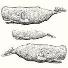 Etching,Sperm Whale,Sea,Nature,ocean life,Mammal,Woodcut,Whaling,Sea Life,Pen And Ink,Human Sperm,Cetacea,hand drawn,Drawing - Art Product,Ilustration