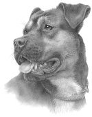 Canine,Dog,Pets,spca,Mixed-Breed Dog,Sketch,Pencil Drawing,Graphite Drawing