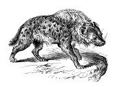 Engraved Image,Hyena,Engraving,Old-fashioned,Animal,Antique,Obsolete,Old,Animal Themes,Isolated On White,Spotted,Nature,Mammal,Cultures,Black And White,Art,Drawing - Art Product,Isolated,Sketch,Victorian Style,Spotted Hyena,Science,Painted Image,Retro Revival,Print,History,Classical Style,19th Century Style,Ilustration