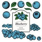 Blueberry,Ilustration,Etching,Fruit,Vector,Berry Fruit,hand drawn,Woodcut,Drawing - Art Product,Scratchboard,Blue,Green Color,Leaf