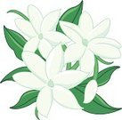 Flower,Single Flower,Jasmine,Isolated,Ilustration,Vector,Blossom,Close-up,Clip Art,Ornate,Blossoming,Plant,Leaf,Bud,White,Decoration,Summer,Beauty In Nature,Springtime,Nature