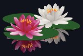Water Lily,Lily,Single Flower,Lotus Water Lily,Flower,Pond,Reflection,Isolated,Aquatic,Opening,Bud,Relaxation,Dragonfly,Blossom,Nature,Flower Head,Gardening,Computer Icon,Vector,Candid,Meditating,Summer,Uncultivated,Elegance,Intricacy,Tropical Climate,Green Color,Pastel Colored,Ilustration,Growth,Zen-like,Flower Bed,Lake,Botany,Spooky,Ornamental Garden,Open,East,Beautiful,Blossoming,Romance,Mystery,Petal,Mirrored Pattern,Lotus Root,Outdoors,Exoticism,Close-up,Plant,Tranquil Scene,Springtime,Environmental Conservation,Season,Beauty In Nature