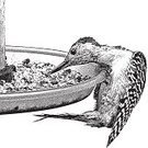 Bird Feeder,Red Bellied Woodpecker,Engraved Image,Bird Seed,Woodpecker,Mezzotint,Square,Young Animal,Beak,Perching,Ilustration,Scratchboard,White Background,Stipple Effect,Isolated On Black,Wildlife,Young Bird,Animals Feeding,Bird Watching,Isolated On White,Black And White,Front or Back Yard,Design Element,Bird