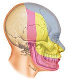 Human Skull,Number 2,Human Body Part,Number 1,Vertical,Photography,Number 3,Human Head