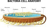 Ribosome,Cell,Animal Cell,Membrane,Bacterium,Virus,Rabies,Organization,Illness,pylori,Science,Anatomy,Prokaryote,Pneumonia,Salmonella Bacterium,Diagram,Parasitic,Microscope,Cytoplasm,Ilustration,People,DNA,Shape,Cold And Flu,Spore,Helicobacter Pylori,Chromosome,Biology,Ulcer,Stomach,Unhygienic,Healthcare And Medicine,Microbiology,Treponema Pallidum