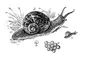 Drawing - Art Product,Print,History,Pencil Drawing,Ilustration,Engraving,Black And White,Classical Style,Retro Revival,Horned,Nature,Snail,Cultures,Art,Isolated On White,Engraved Image,Old,Sketch,Painted Image,Isolated,Victorian Style,Animal Egg,Cornu Aspersum,19th Century Style,Animal Themes,Antique,Obsolete,Old-fashioned,Reptile,Animal,Lizard,Science