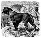 Sketch,Painted Image,Retro Revival,Isolated,Victorian Style,Africa,West - Direction,19th Century Style,Classical Style,Black And White,Nature,Senegal,Ilustration,Drawing - Art Product,History,Print,Big Cat,West Africa,Old-fashioned,Animal,Animal Themes,Antique,Obsolete,Engraved Image,Old,Art,Isolated On White,senegalensis,Lioness,Science,Lion - Feline,African Culture,Cultures,Mammal,Engraving