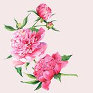 Bouquet,Romance,Peony,Flower Head,Elegance,Wedding,Summer,Pink Color,Greeting,Backgrounds,Nature,Invitation