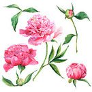 Peony,Computer Graphic,Backdrop,Bouquet,Branch,Nature,Backgrounds,Petal,Leaf,Botany,Summer