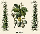 Lithograph,Hop,Nostalgia,Plant,History,Crop,Ilustration,Engraved Image,Image Created 1870-1879,Cultures,Styles,Print,Color Image,1870-1879,Agriculture,The Past,Woodcut,Old,Obsolete,Retro Revival,Old-fashioned,Antique,19th Century Style,Victorian Style,Image Created 19th Century,Central Europe