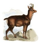 Pyrenees,Nature,Ilustration,One Animal,Side View,Turkey - Middle East,Herbivorous,Retro Revival,European Alps,Carpathian Mountain Range,Balkans,Woodcut,Caucasus ,Color Image,Europe,Engraved Image,Wildlife,Zoology,Animal Themes,Animal,Goat-antelope,Animals And Pets,Antique,Old-fashioned,Animals In The Wild,Chamois,Romania,Tatra Mountains,Obsolete,Mammal,Chamois Leather,Horned,Uncultivated