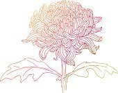 Single Flower,Flower,Isolated,Nature,Ilustration,Hand-drawn,Chrysanthemum,Outline,Drawing - Art Product,Sketch,Plant,White Background,Pastel Colored,Elegance,Botany,Petal