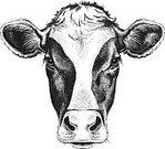 Cow,Etching,Old-fashioned,Beef,Organic,Livestock,Bull - Animal,Sketch,Hoofed Mammal,Looking,Contour Drawing,Animal,Farm,butchery,Steak,Cute,Vector,Dairy Farm,Dairy Cattle,Domestic Animals,Holstein Cattle,Dairy Product,Mammal,Mature Adult,Animal Ear,Symbol,hand drawn,Drawing - Art Product,Snout,Anthropomorphic Face,Animal Head,Delicatessen,Meat,Animal Nose,Isolated On White,Ayrshire Cattle,Milk,Free Range,husbandry,Head And Shoulders,Close-up,Black And White Cow