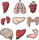 Human Internal Organ,Human Brain,Human Pancreas,Human Heart,Kidney,Human Lung,Liver,Heart Shape,Anatomy,Human Intestine,Religious Icon,People,Stomach,Cartoon,Symbol,Medical Exam,The Human Body,Vector,Computer Icon,Spleen,Human Nervous System,Colon,Ilustration,Sketch,Education,Cardiovascular System,Outline,Drawing - Art Product,Drawing - Activity,Intelligence,Love,Brain Stem,Human Tissue,Human Vein,Inspiration,Ignorance,Care,Careless,Creativity,Contemplation,Pencil Drawing,Human Trachea,Wisdom,Thinking,Expertise,hand drawing,Concentration,Body Care,Ideas,Frontal Lobe,Vector Icons,Imagination,Science Symbols/Metaphors,Vector Cartoons,Illustrations And Vector Art,Valve,hand drawn,Spinal Chord,Medicine And Science