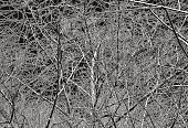 Ilustration,Vector,Dried Plant,Dead Plant,No People,Horizontal,Curled Up,Black And White,Outdoors,Design Element,Twig,Tree,Bush,Nature,Textured Effect,Textured,Abstract,Backgrounds,Branch
