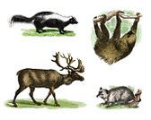 Nature,Animal Wildlife,Horizontal,Europe,Northern Europe,Side View,North America,Central America,South America,Animal,Smelling,Horned,Siberia,USA,Animals In The Wild,Mammal,Reindeer,Deer,Old-fashioned,Opossum,Uncultivated,Tundra,Forest,Tropical Rainforest,Arctic,Cut Out,Polecat,Skunk,Color Image,Boreal Forest,Engraving,Illustration,Woodcut,Engraved Image,Antique,Unpleasant Smell,Animal Themes,No People,Slow,Sloth,White Background,Boreal Toad,Zoology,Herbivorous,Subarctic,2015,ground sloth,Sloth