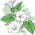 Floral,Nature,Plant,White Color,Flower,Vine,Uncultivated,Leaf,Curve,Beauty,Morning Glory,Illustration,Convolvulus,Cartoon,Beauty In Nature,Sketch,No People,Vector,Wildflower,White Background,Bindweed,Illustrations And Vector Art