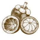 Retro Styled,Old-fashioned,Tropical Fruit,Mangosteen,Engraved Image,Dieting,Ingredient,Dessert,Ripe,Sweet Food,Healthy Lifestyle,Antique,Healthy Eating,Seed,White Background,Isolated,Illustration,Juicy,Crop,Organic,Nature,Vegetable,Vegetarian Food,Botany,Isolated On White,Slice,Plant,Pencil Drawing,Freshness,Sketch,Fruit,Etching,garcinia,Ink,Vector,Grunge,Food