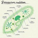Sign,Education,Chart,Ink,Multi Colored,Mitochondrion,Ciliate,Diagram,Handwriting,Illustration,Vector,Student,Pharynx,Membrane,Cytoplasm,Ribosome,2015