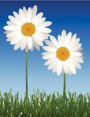 Daisy,Flower,Grass,Summer,Vector,White,Shasta Daisy,Two Objects,Chrysanthemum,Springtime,Flower Head,Ilustration,Yellow,Clipping Path,Sky,Romance,Petal,Scented,Cheerful,Spring,Flowers,Vector Backgrounds,Isolated On White,Illustrations And Vector Art,Nature