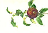 Burgundy,Horizontal,Brown,Red,Yellow,Circle,Fruit,Branch,Leaf,Ripe,Apple - Fruit,Burgundy - France,Curve,Watercolor Painting,Watercolor Paints,No People,Photography,2015