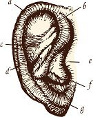 Human Ear,Engraving,Engraved Image,Etching,Anatomy,Healthcare And Medicine,Old-fashioned,Deafness,Antique,Listening,audiology,Music,Science,Old,Audition,Monoprint,The Human Body,People,Illustrations And Vector Art,Medicine And Science