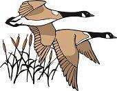 Goose,Hunting,Flying,Canada,Cattail,Cartoon,Vector,Sport,Ilustration,Animal Sport,Birds,Vector Cartoons,Actions,Animals And Pets,Outdoors,Illustrations And Vector Art