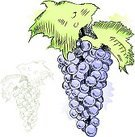 Grape,Fruit,Watercolor Painting,Food,Sketch,Drawing - Art Product,Ilustration,Pencil Drawing,Healthy Eating,Cross Hatching,Isolated,Grunge,Nature,Outline,Single Line,Rough