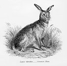 Hare,Engraved Image,Animal,Lagomorphs,Brown Hare,Ilustration,Animals In The Wild,Nature,Animal Themes,Arctic Hare,Wildlife,Animal Attribute,One Animal,Mammals,Pawed Mammal,Vertebrate,Wild Animals,Animals And Pets,The Natural World,Living Organism,Mammal