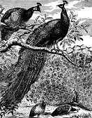 Peacock,Ilustration,Engraved Image,Old-fashioned,Antique,Bird,Monoprint,Old,Tropical Bird,Black And White,Biology,Living Organism,Environment,Nature,Vertical,Animals And Pets,Wild Animals,Birds,Outdoors,Wildlife,No People,Vertebrate,Image Created 19th Century,Image Created 1870-1879