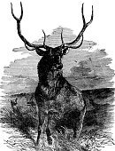 Elk,Deer,Stag,Engraved Image,Old-fashioned,Ilustration,Wildlife,Vertical,Monoprint,Antique,Image Created 1870-1879,Outdoors,Black And White,Living Organism,Wild Animals,Nature,Animals And Pets,Mammals,No People,Image Created 19th Century,Biology,Old,Environment