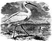 Engraved Image,Spoonbill,Water Bird,Ilustration,Bird,Black And White,Biology,Coastline,Antique,Beach,Old-fashioned,Nature,Environment,Horizontal,Wildlife,Animals And Pets,Old,Birds,Living Organism,Sea Bird,Outdoors,Water's Edge,Wild Animals,Wading,No People,Monoprint,Image Created 19th Century,Image Created 1870-1879